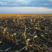 Dead cornfield. — Stock Photo