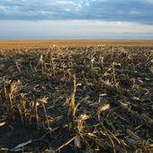 Dead cornfield. — Stock Photo