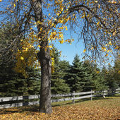 Drzewo buk amerykański. — Zdjęcie stockowe