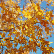 Maple tree in Fall color. — Stock Photo