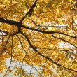 Stock Photo: Elm tree in Fall color