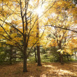 Maple trees in Fall color. — Stock Photo #9521955