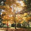 Stock Photo: Maple trees in Fall color.