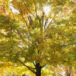 Maple tree in autum. - Foto de Stock