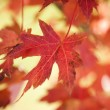 Photo: Red autumn maple leaf.