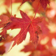 Stock fotografie: Red autumn maple leaf.