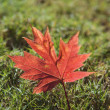 Royalty-Free Stock Photo: Red autumn maple leaf.