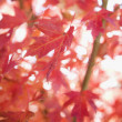 Stock Photo: Autumn maple leaves.