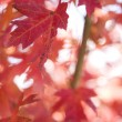 Red autumn maple leaves. — Stock fotografie