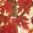 Maple leaves. — Stock Photo