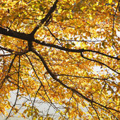 Elm tree in Fall color — Stock Photo