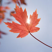 Red maple leaf. — Stock Photo