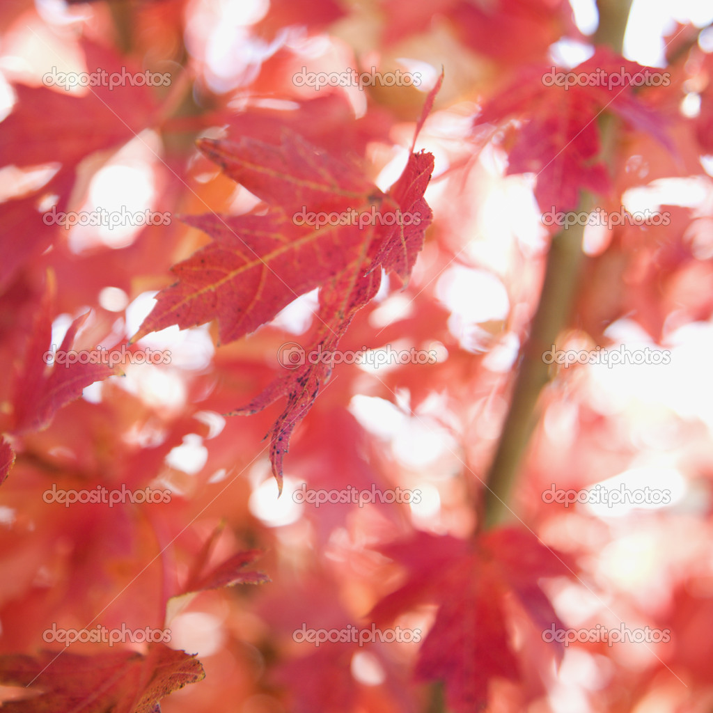 Multiple red autumn maple leaves. — Stock Photo #9522144