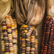 Multicolored Indian corn. — Stock Photo