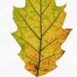 Oak leaf on white. — Foto de Stock