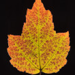 maple leaf in fall color. — Stock Photo