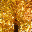 tree in fall color. — Stock Photo