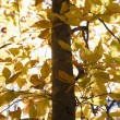 Tree with yellow leaves. — Stock Photo