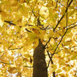 Tree with yellow Fall foliage. - Stock Photo