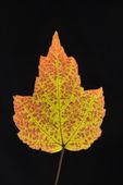 在枫叶秋天的颜色. — 图库照片