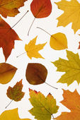 Leaves in Fall color. — Stock Photo