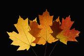 Maple leaves on black. — Stock Photo
