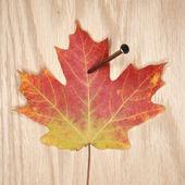 Nailed maple leaf. — Stock Photo