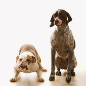 Bulldog and Pointer dog. — Stock Photo