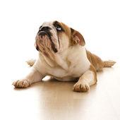 English Bulldog on floor. — Stock Photo