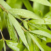 Bamboo leaves. — Stock Photo
