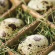 Speckled eggs. - Stock Photo
