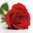 Red rose on white. — Stock Photo