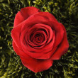 Red rose in grass. — Stock Photo