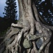 Tangled tree roots - Stock Photo