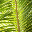 Palm frond. — Stock Photo #9554412