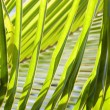 Palm fronds. — Stock Photo
