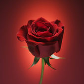 Red rose on red. — Stock Photo
