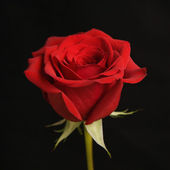 Red rose on black. — Stock Photo