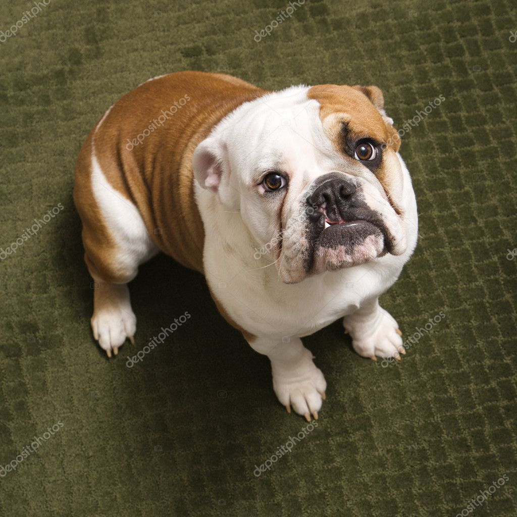 English bulldog puppy sitting on carpet looking up at viewer. — Stock Photo #9551000