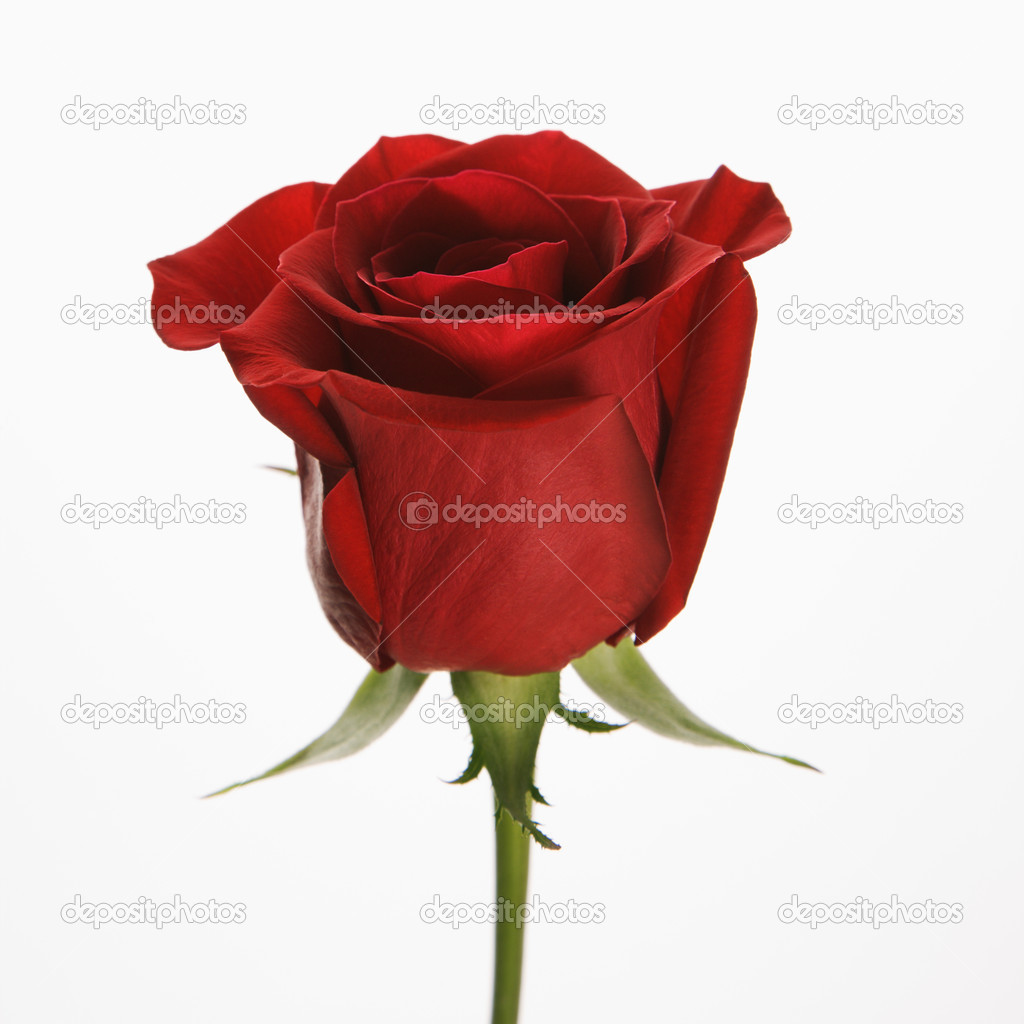 Single long-stemmed red rose against white background.  Stock Photo #9554029