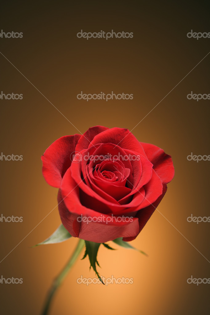 Single long-stemmed red rose against golden background.  Stock Photo #9554034