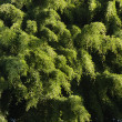Stock Photo: Green foliage.