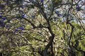 Jacaranda tree. — Stock Photo