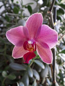 Mooie roze orchid close-up — Stockfoto