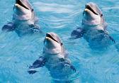 Dolphins swim in the pool — Stock Photo