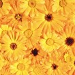 Yellow daisy-gerberas background and pattern — Stock Photo #8551254