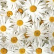 White daisy — Stock Photo #8551275