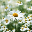 Daisies in a field, macro — Stock Photo #8551460