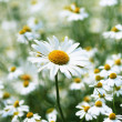 Stock Photo: Daisies in a field, macro