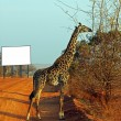 Giraffe in the savanna billboard — Stock Photo